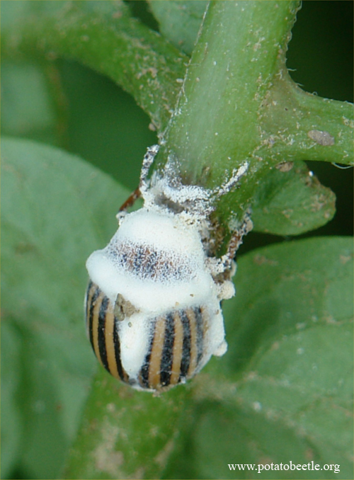 Colorado potato beetle infected with B. bassiana
